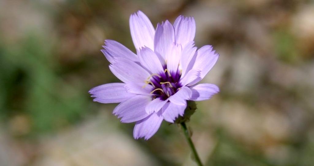 belle fleur bleue